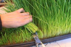 wheatgrass6